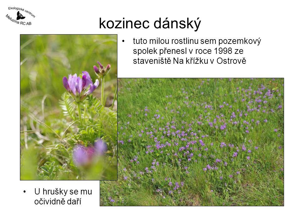 kozinec dánský tuto milou rostlinu sem pozemkový spolek přenesl v roce 1998 ze staveniště Na křížku v Ostrově.