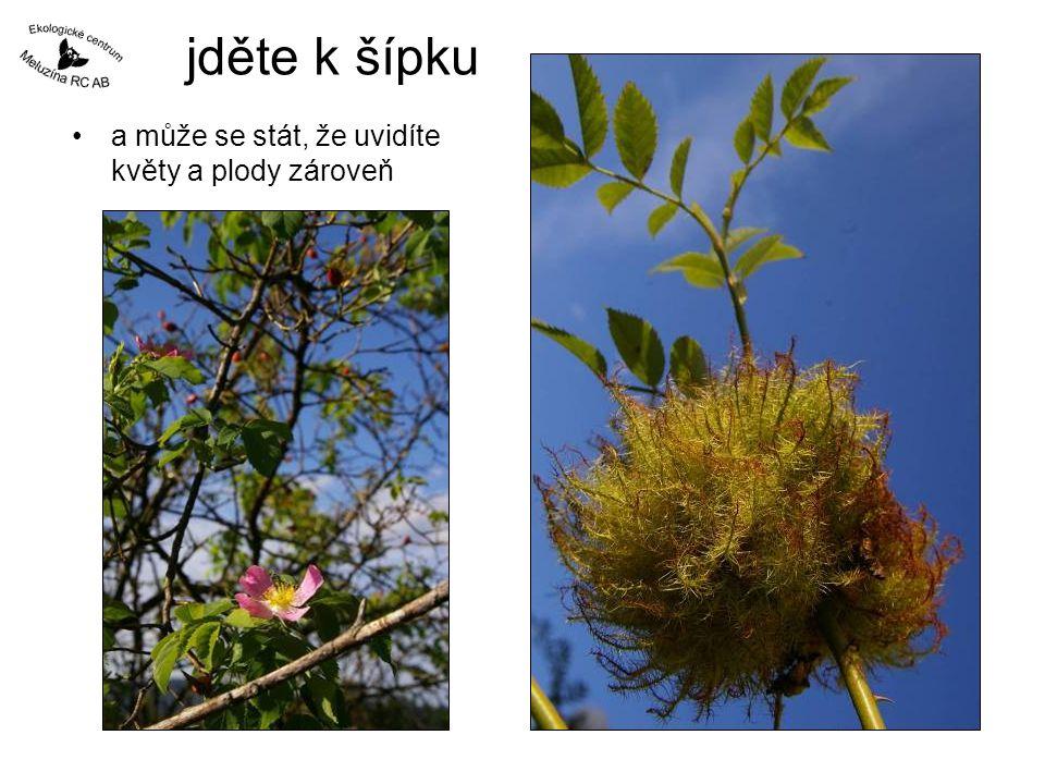 jděte k šípku a může se stát, že uvidíte květy a plody zároveň