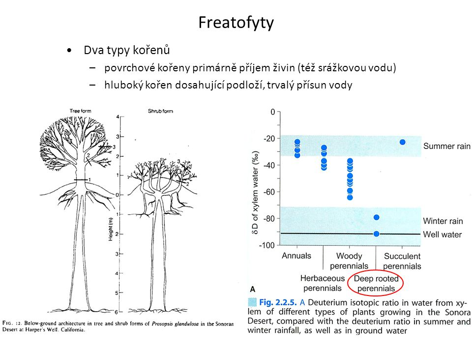 Freatofyty Dva typy kořenů