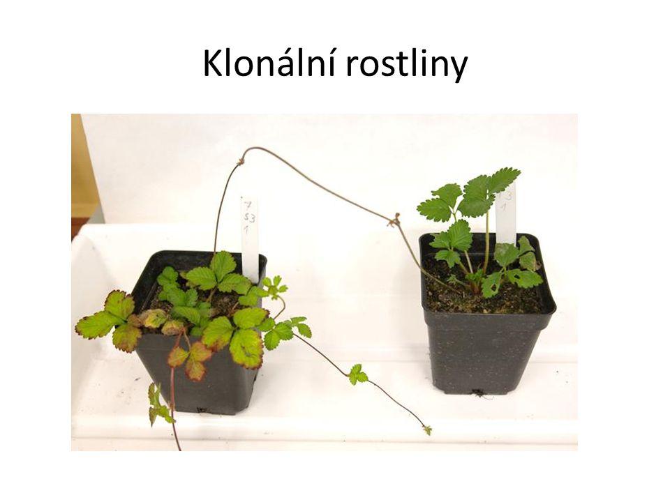Klonální rostliny