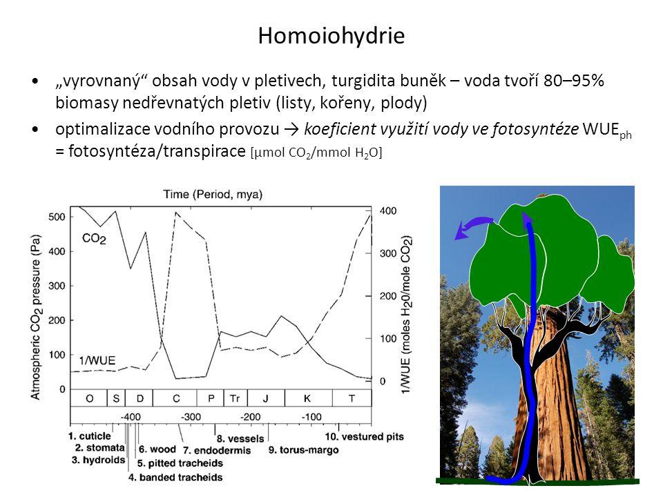"""Homoiohydrie """"vyrovnaný obsah vody v pletivech, turgidita buněk – voda tvoří 80–95% biomasy nedřevnatých pletiv (listy, kořeny, plody)"""