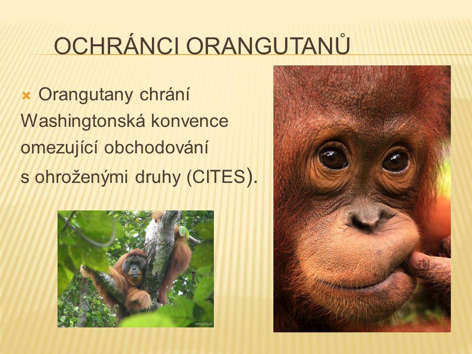 Ochránci orangutanů Orangutany chrání Washingtonská konvence