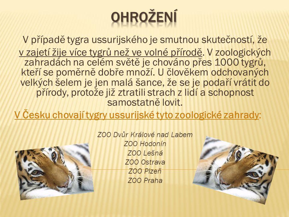 Ohrožení V případě tygra ussurijského je smutnou skutečností, že