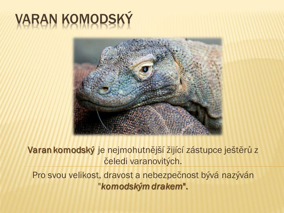 Varan komodský Varan komodský je nejmohutnější žijící zástupce ještěrů z čeledi varanovitých.