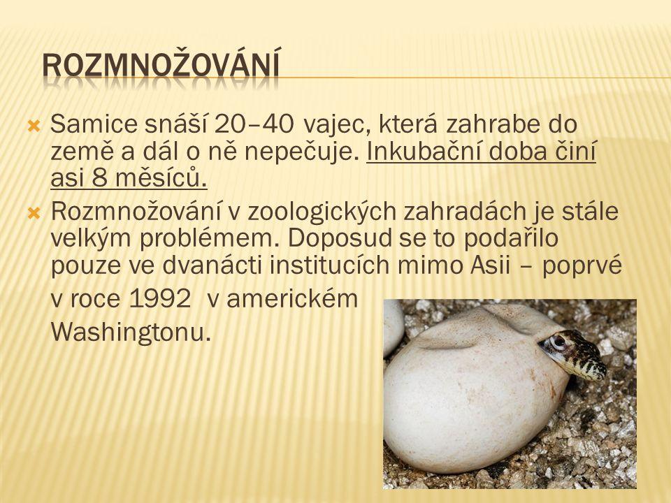 Rozmnožování Samice snáší 20–40 vajec, která zahrabe do země a dál o ně nepečuje. Inkubační doba činí asi 8 měsíců.