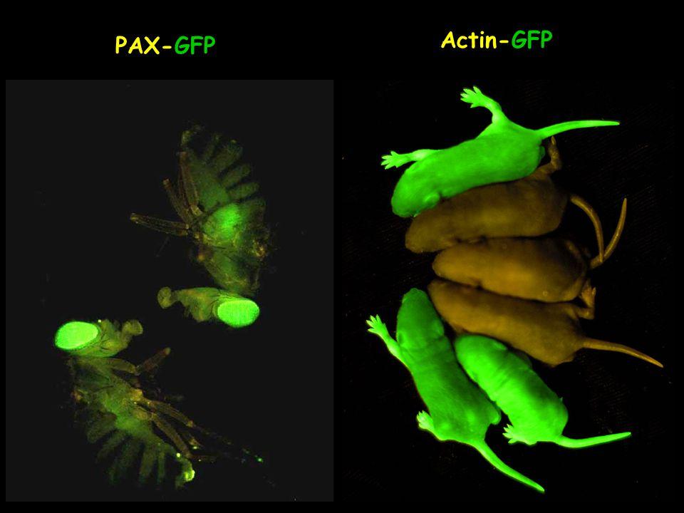 Actin-GFP PAX-GFP