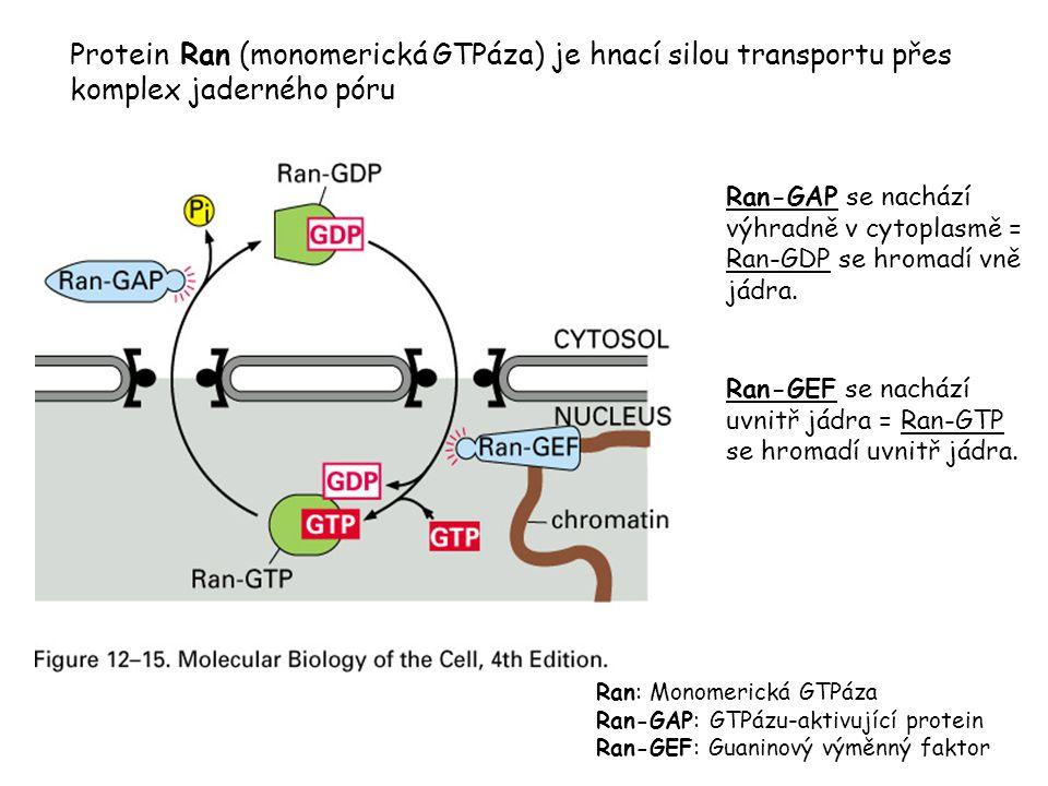 Protein Ran (monomerická GTPáza) je hnací silou transportu přes komplex jaderného póru