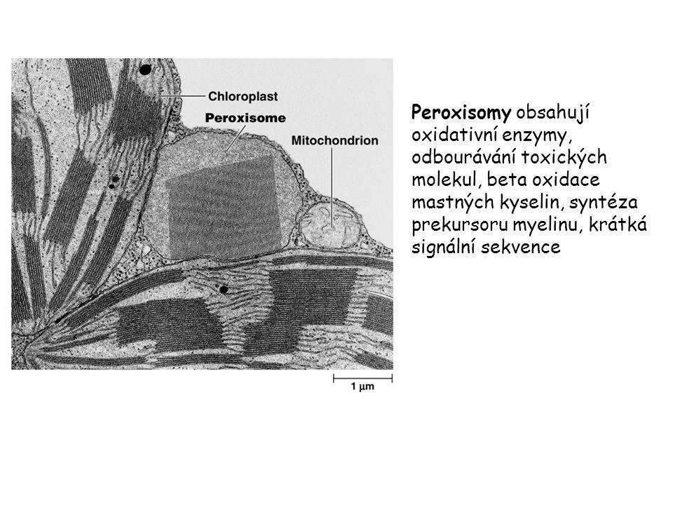 Peroxisomy obsahují oxidativní enzymy, odbourávání toxických molekul, beta oxidace mastných kyselin, syntéza prekursoru myelinu, krátká signální sekvence