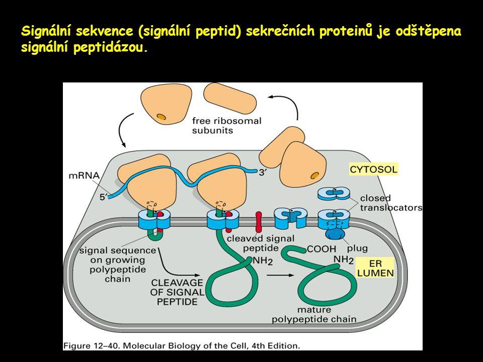 Signální sekvence (signální peptid) sekrečních proteinů je odštěpena signální peptidázou.