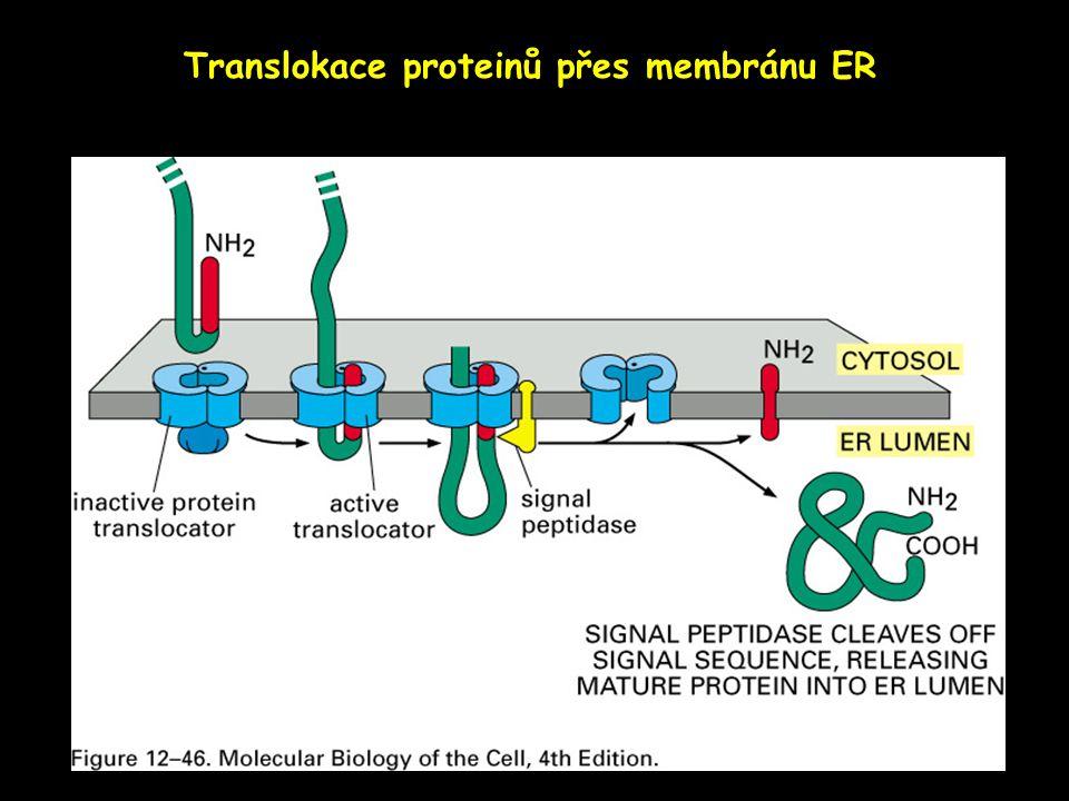 Translokace proteinů přes membránu ER