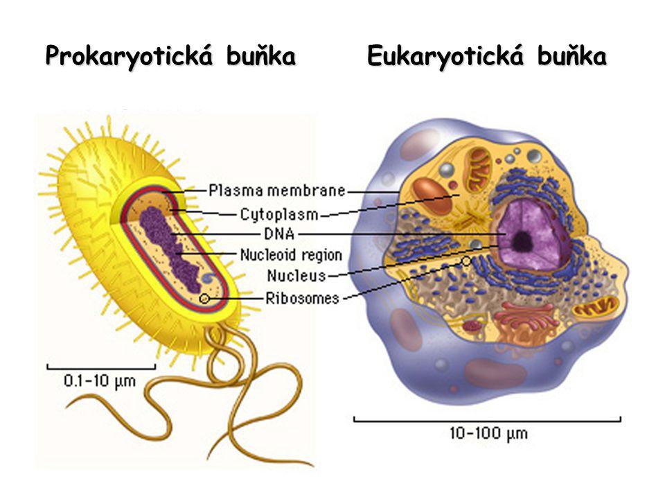 Prokaryotická buňka Eukaryotická buňka
