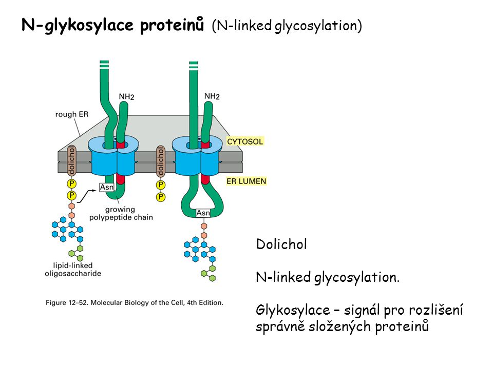 N-glykosylace proteinů (N-linked glycosylation)
