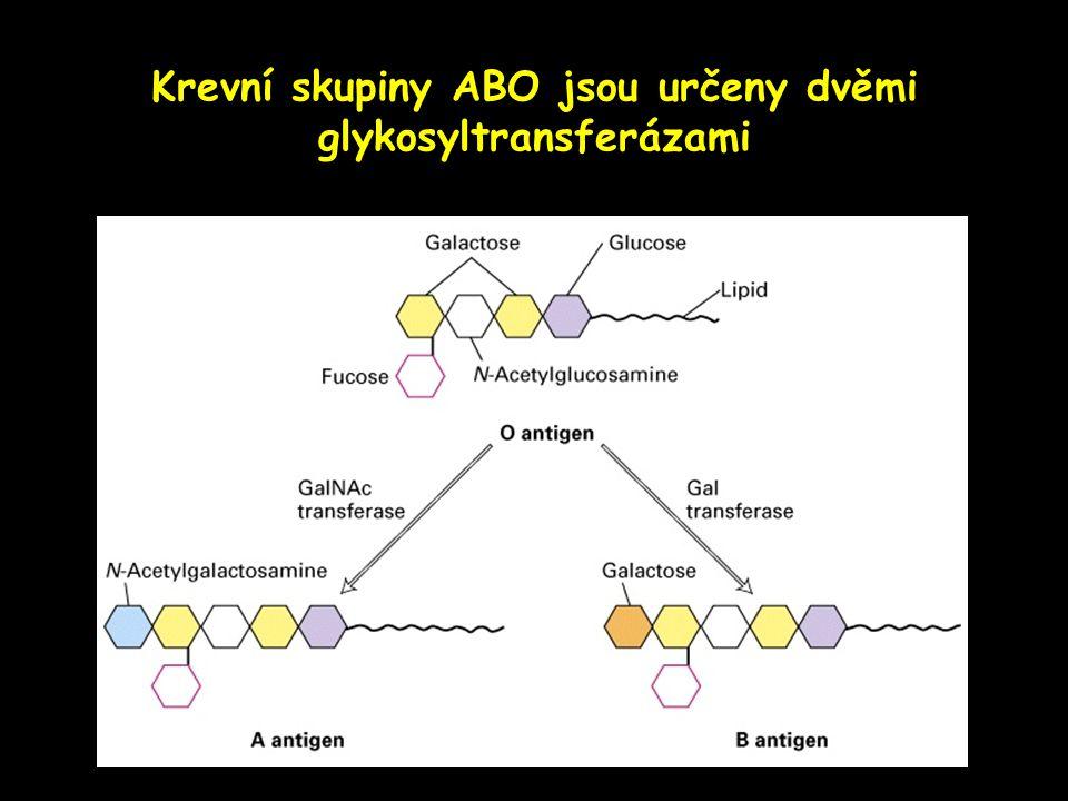 Krevní skupiny ABO jsou určeny dvěmi glykosyltransferázami