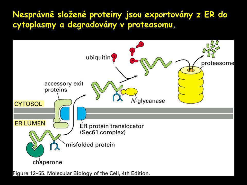 Nesprávně složené proteiny jsou exportovány z ER do cytoplasmy a degradovány v proteasomu.