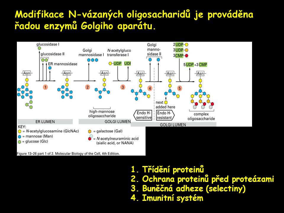 Modifikace N-vázaných oligosacharidů je prováděna řadou enzymů Golgiho aparátu.