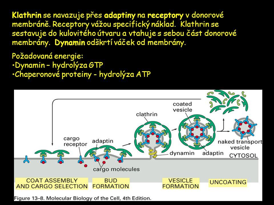 Klathrin se navazuje přes adaptiny na receptory v donorové membráně