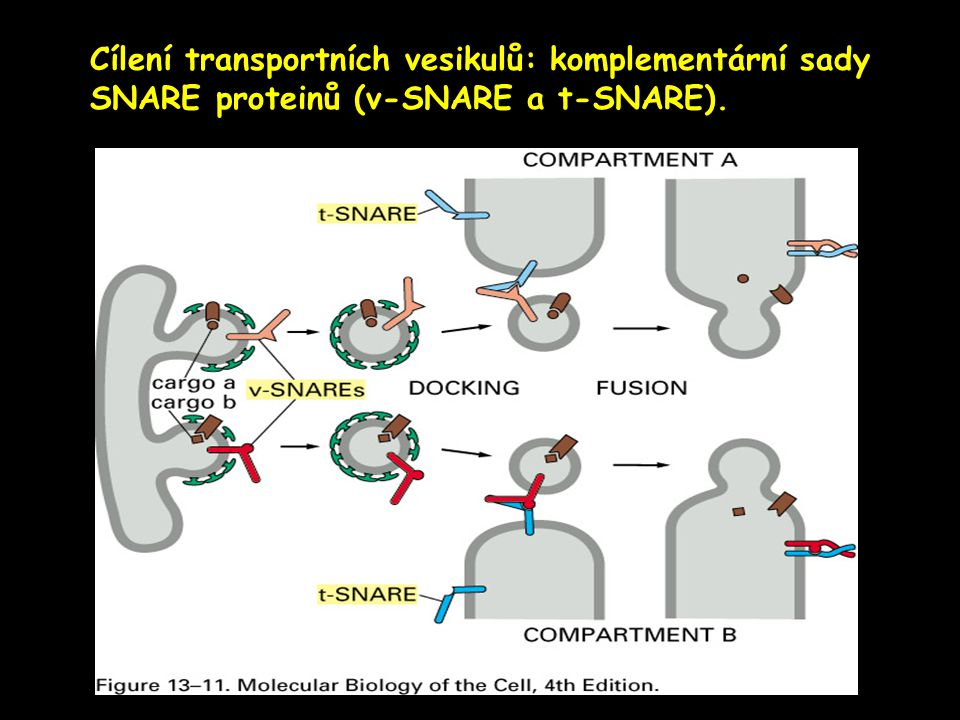 Cílení transportních vesikulů: komplementární sady SNARE proteinů (v-SNARE a t-SNARE).