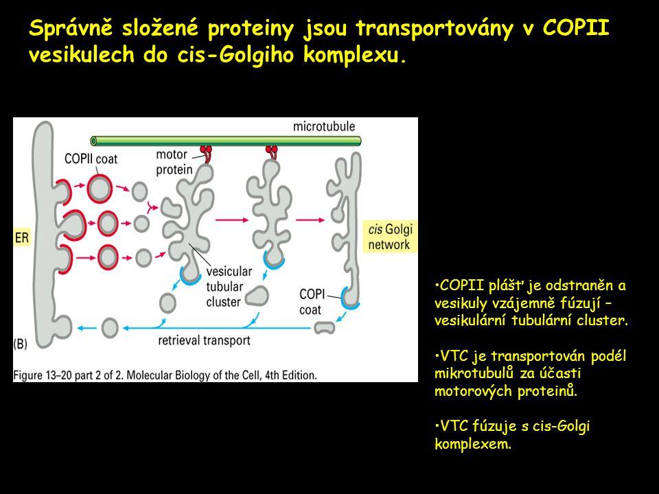 Správně složené proteiny jsou transportovány v COPII vesikulech do cis-Golgiho komplexu.