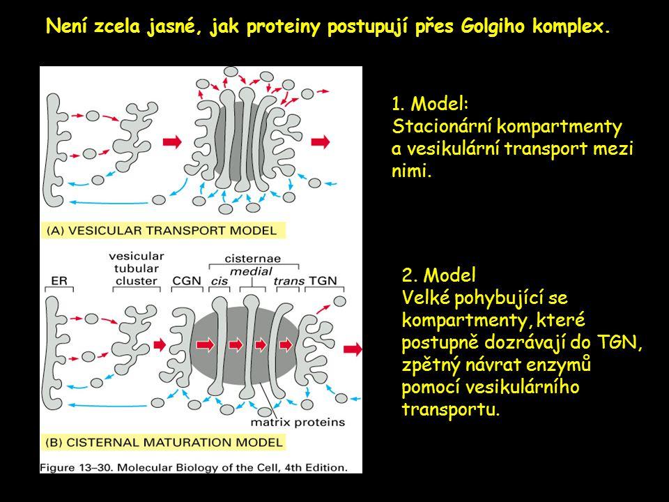 Není zcela jasné, jak proteiny postupují přes Golgiho komplex.