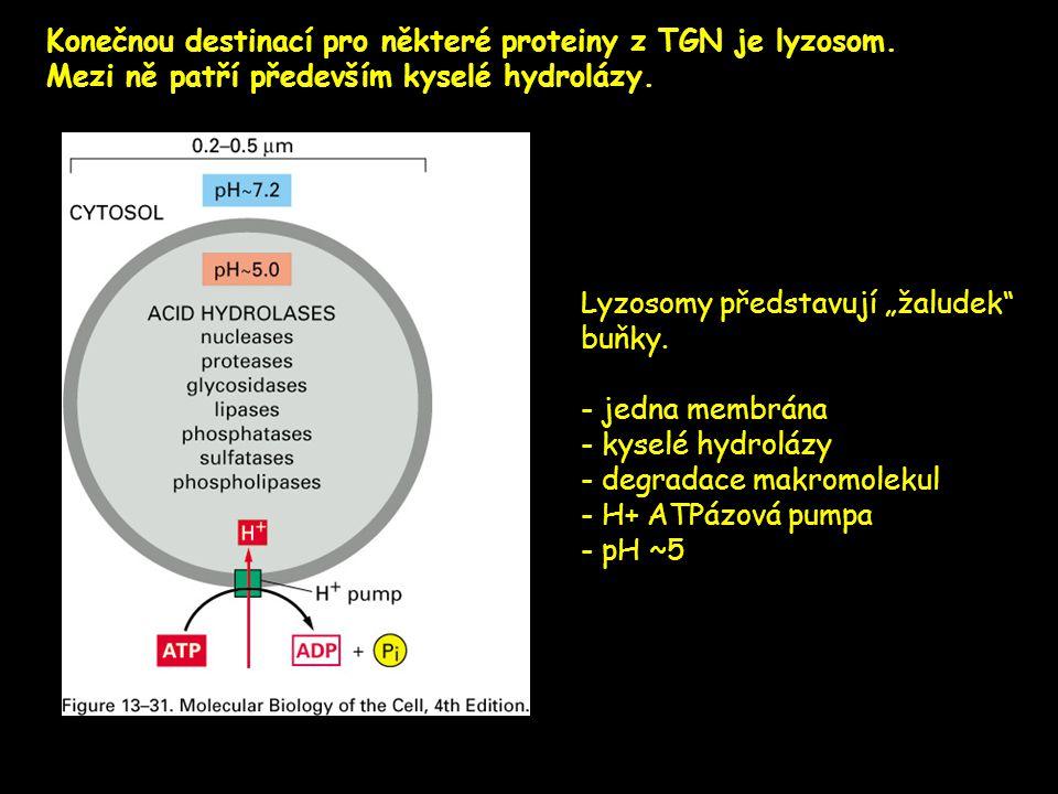 Konečnou destinací pro některé proteiny z TGN je lyzosom