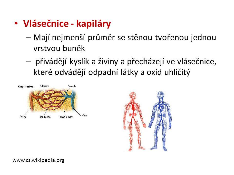 Vlásečnice - kapiláry Mají nejmenší průměr se stěnou tvořenou jednou vrstvou buněk.
