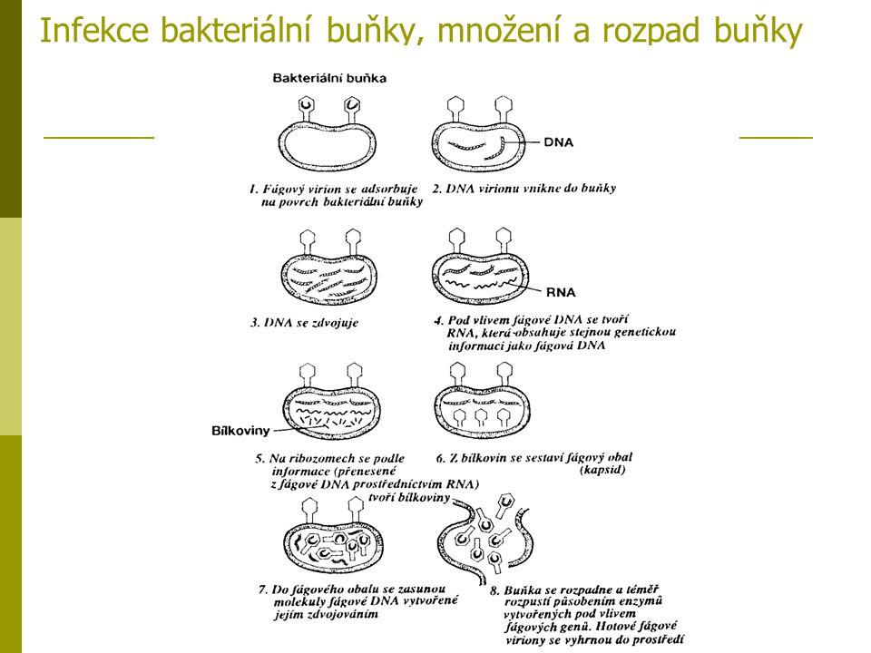 Infekce bakteriální buňky, množení a rozpad buňky