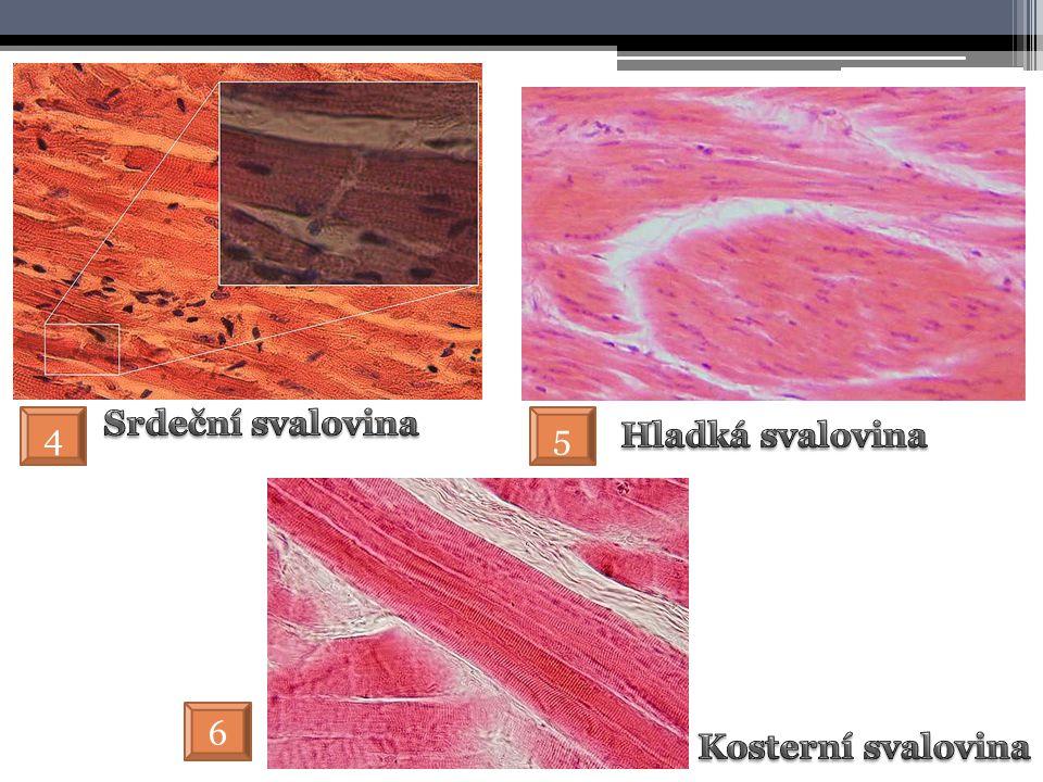 Srdeční svalovina 4 5 Hladká svalovina 6 Kosterní svalovina