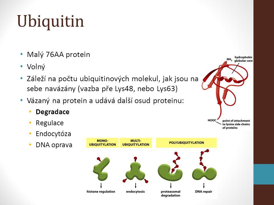 Ubiquitin Malý 76AA protein Volný