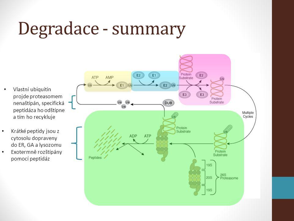 Degradace - summary Vlastní ubiquitin projde proteasomem nenaštípán, specifická peptidáza ho odštípne a tím ho recykluje.