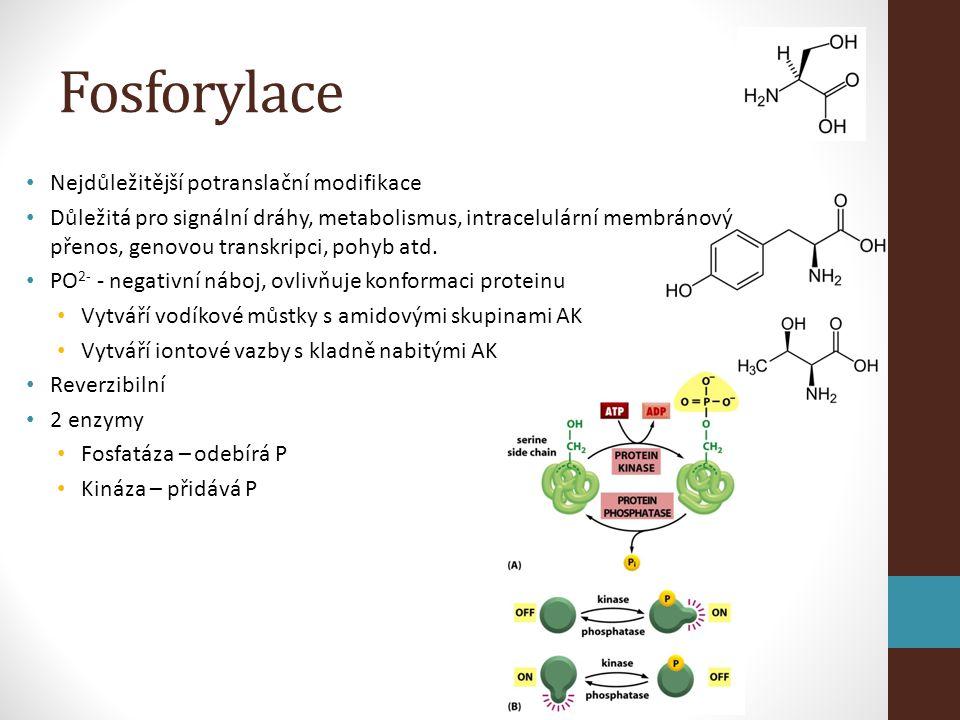 Fosforylace Nejdůležitější potranslační modifikace