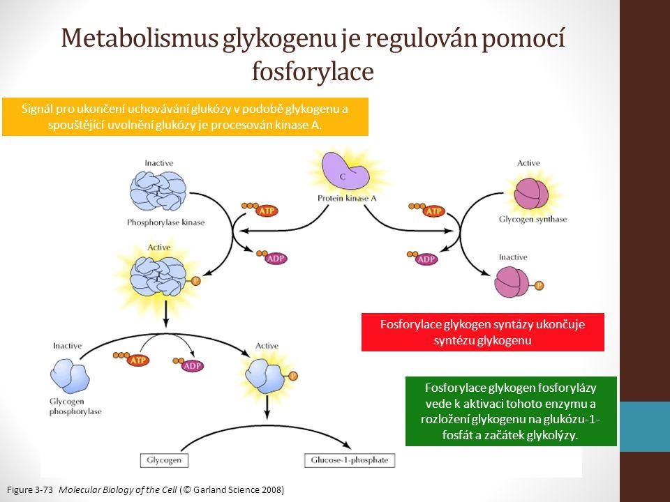 Metabolismus glykogenu je regulován pomocí fosforylace