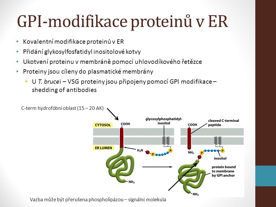 GPI-modifikace proteinů v ER