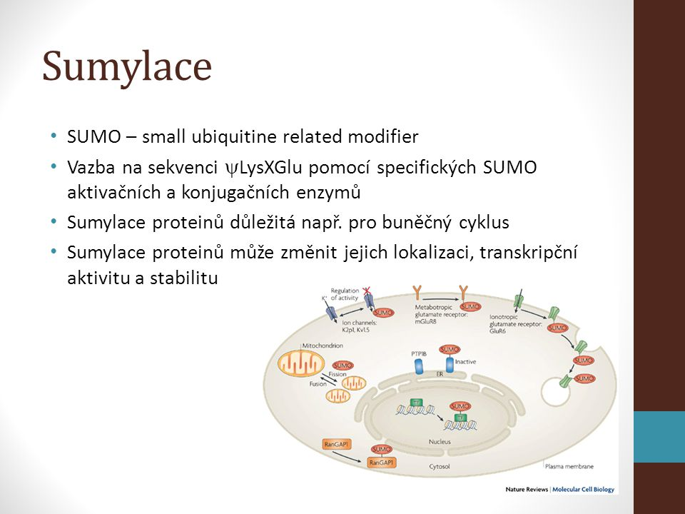 Sumylace SUMO – small ubiquitine related modifier