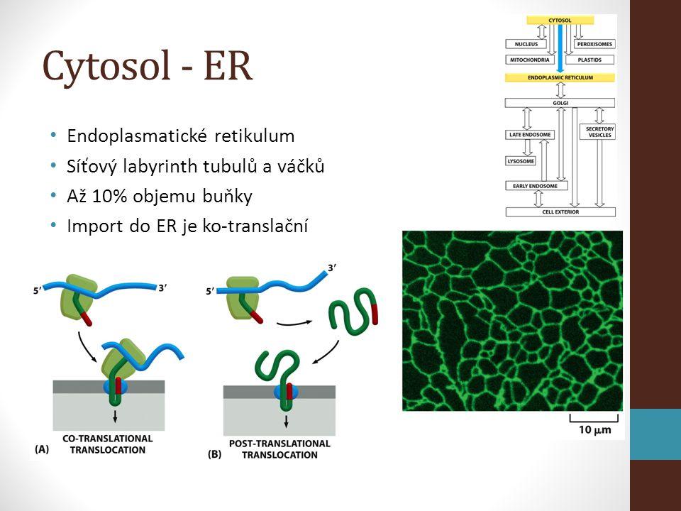 Cytosol - ER Endoplasmatické retikulum Síťový labyrinth tubulů a váčků