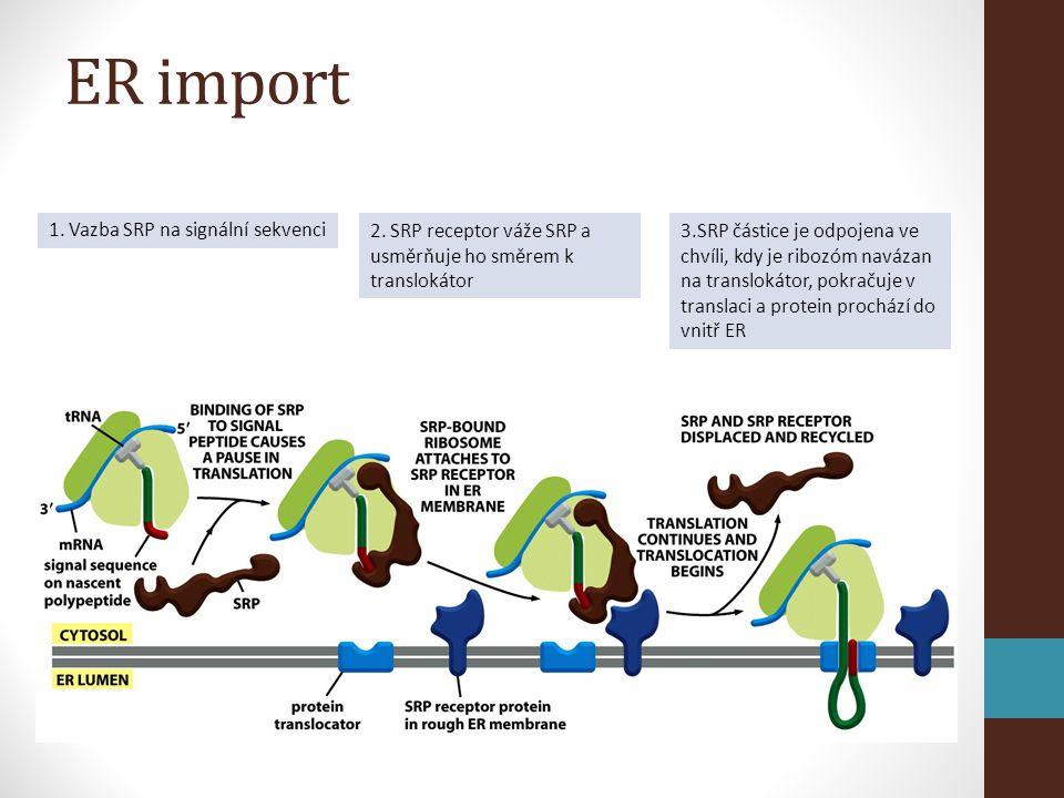 ER import 1. Vazba SRP na signální sekvenci