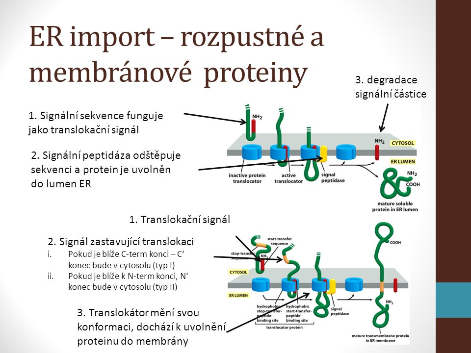 ER import – rozpustné a membránové proteiny