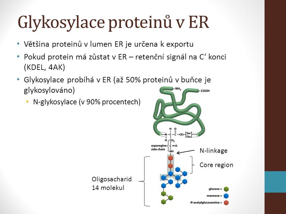 Glykosylace proteinů v ER