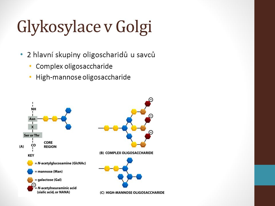 Glykosylace v Golgi 2 hlavní skupiny oligoscharidů u savců