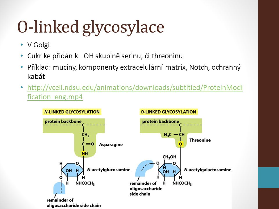 O-linked glycosylace V Golgi