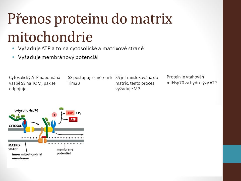 Přenos proteinu do matrix mitochondrie