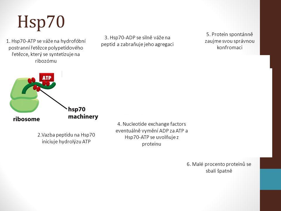 Hsp70 5. Protein spontánně zaujme svou správnou konfromaci