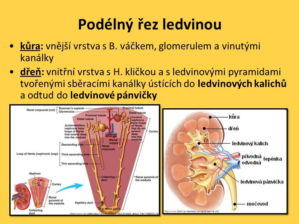 Podélný řez ledvinou kůra: vnější vrstva s B. váčkem, glomerulem a vinutými kanálky.