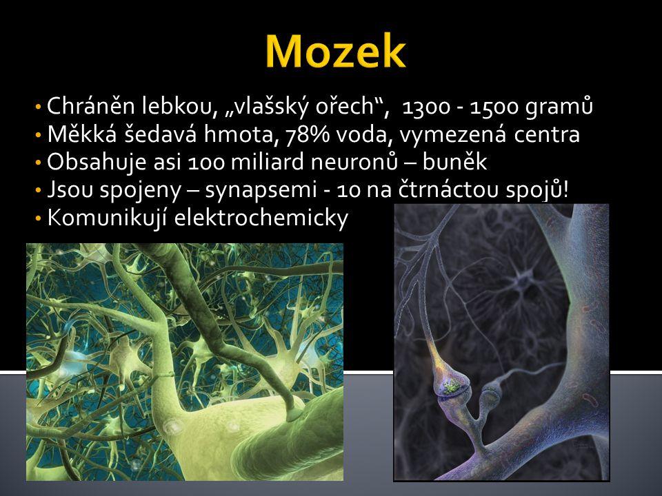 """Mozek Chráněn lebkou, """"vlašský ořech , 1300 - 1500 gramů"""