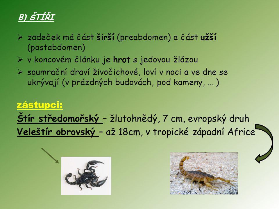 Štír středomořský – žlutohnědý, 7 cm, evropský druh