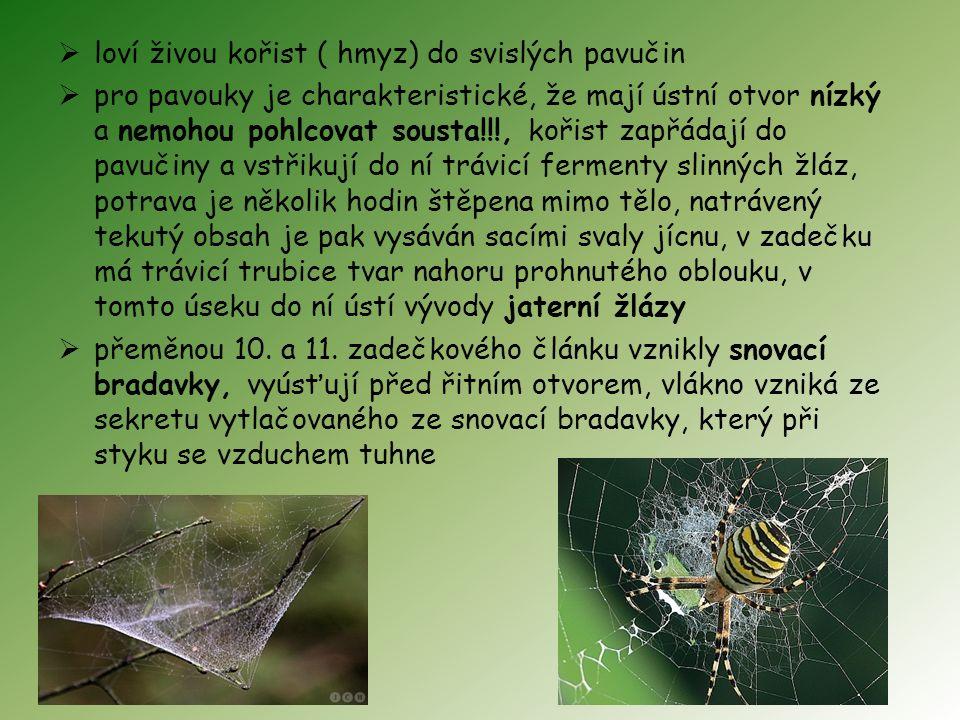 loví živou kořist ( hmyz) do svislých pavučin