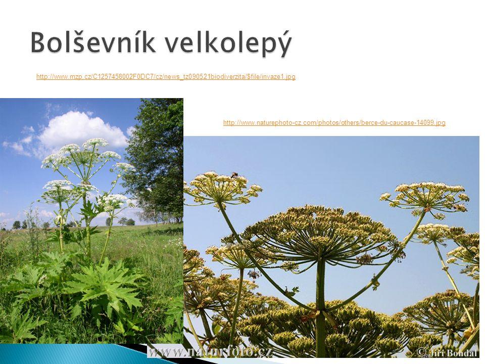 Bolševník velkolepý http://www.mzp.cz/C1257458002F0DC7/cz/news_tz090521biodiverzita/$file/invaze1.jpg.