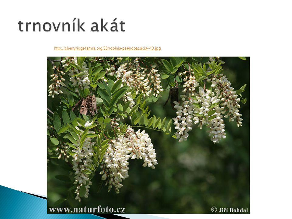trnovník akát http://cherryridgefarms.org/30/robinia-pseudoacacia--13.jpg