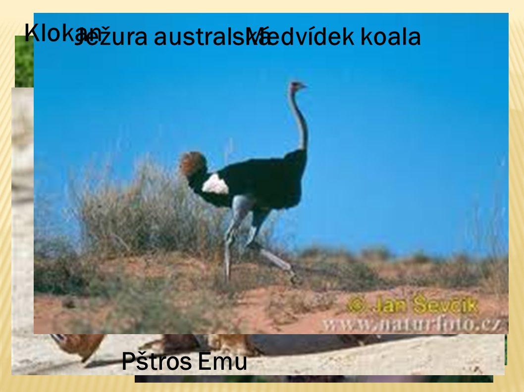 Klokan Ježura australská Medvídek koala Pštros Emu