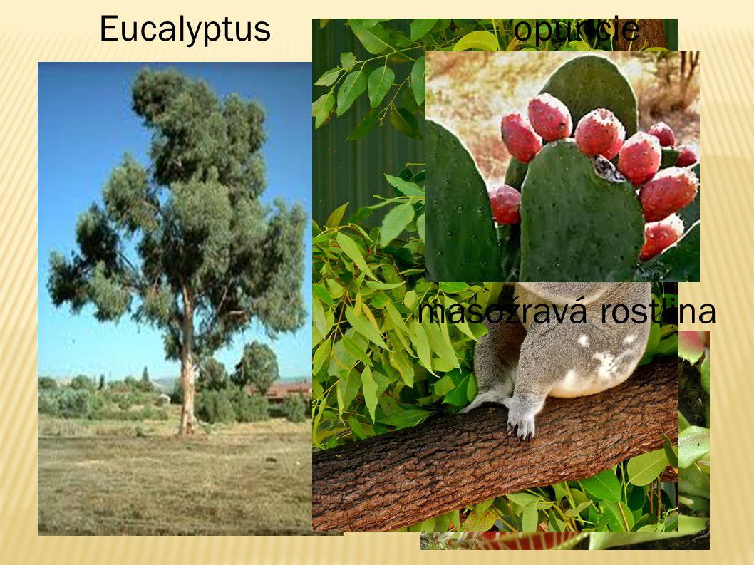 Eucalyptus opuncie masožravá rostlina