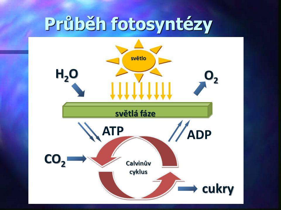 Průběh fotosyntézy H2O O2 ATP ADP CO2 cukry světlá fáze